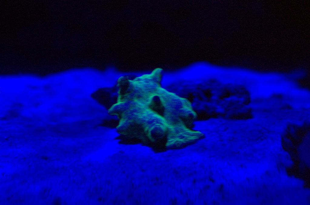 Fluorescent Mushrooms Under Orphek ML7 LED Light