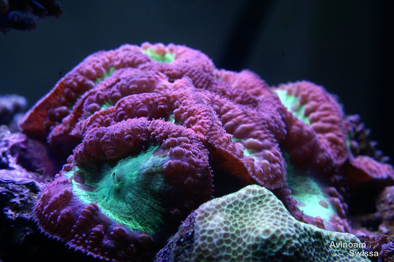 led light coral photos orphek