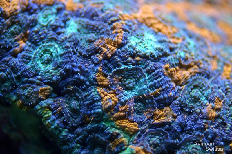 orphek אלמוגים