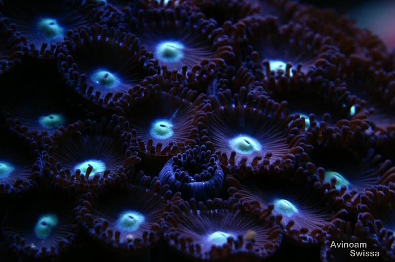 lampu akuarium karang orphek