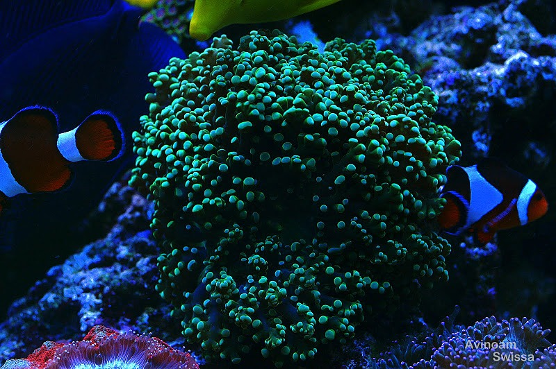 reef LED belysning orphek