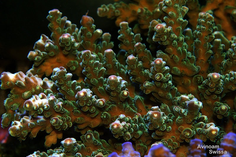 sps reef coral orphek lights