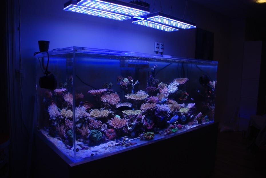 SPS reef tank under orphek led lighting