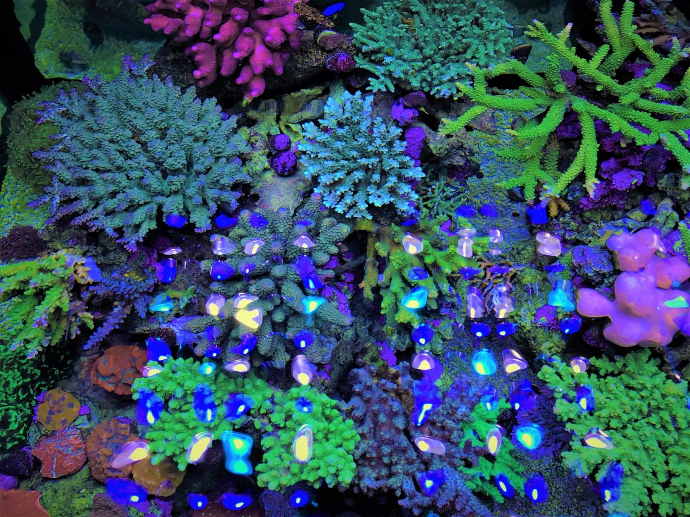 sps-coral-LED-light