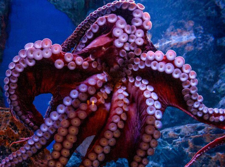 Octopus-The-Blue-Planet-Public-Aquarium-