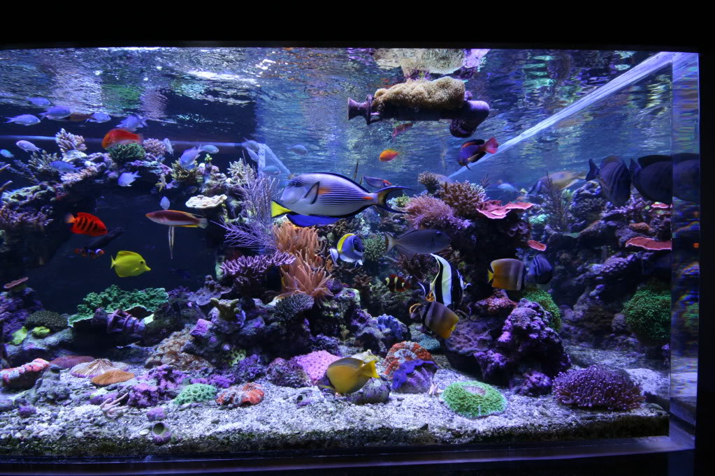 Saltwater Reef Tank : Saltwater Tank mixed reef 1350 gal Orphek LED Lighting