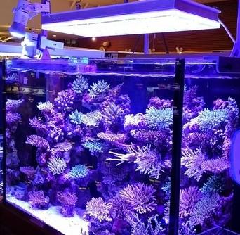 sps Aquarium dẫn orphek