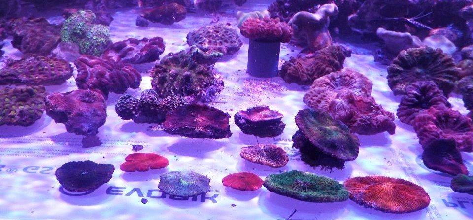 ভুট্টা corals