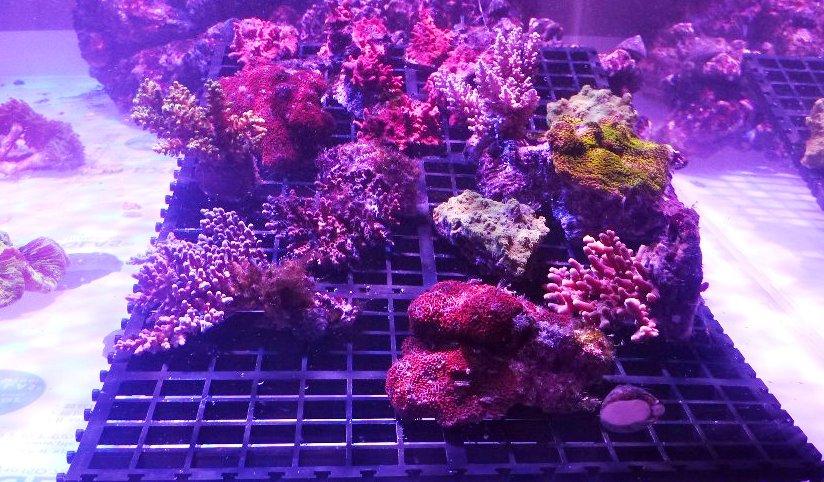 красный коралл осколочная