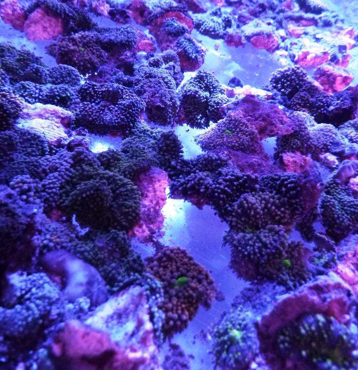 ricordea коралловый осколочная