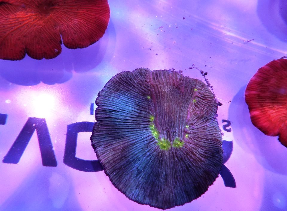 blue and red coral frag