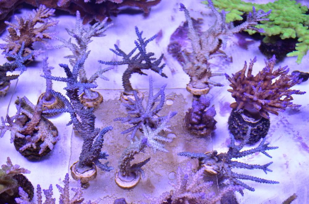 κοράλλια υπό orphek Pr156