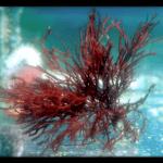 یک گونه GRACILARIA