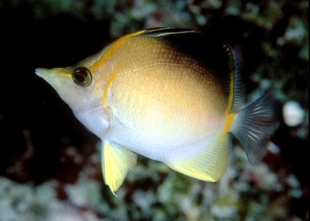 Atlantic Long Snout Butterflyfish