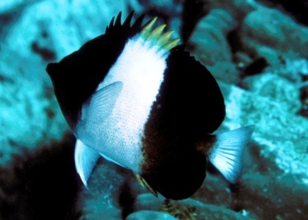 Blackfish Pyramid Butterflyfish