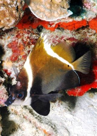 Humphead Butterflyfish