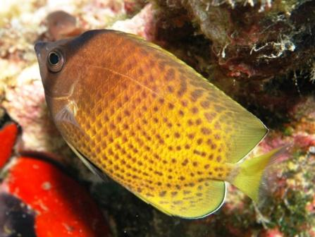 Klenin's Butterflyfish