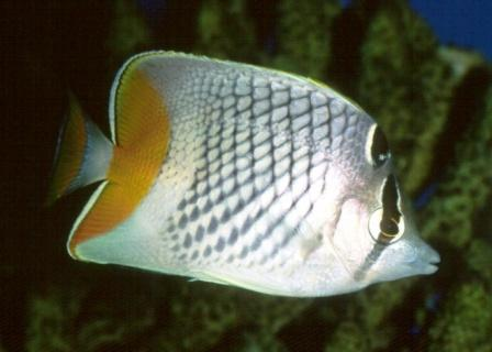 Pearl Scale Butterflyfish