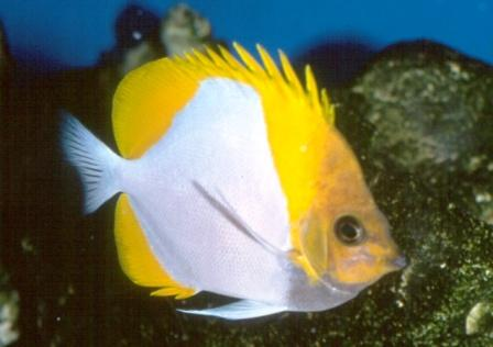 Piramida Butterflyfish
