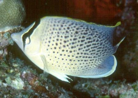 चित्तीदार Butterflyfish