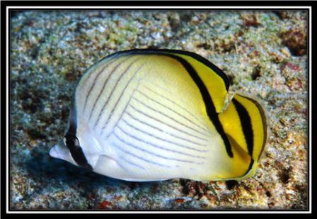 헤매는 Butterflyfish