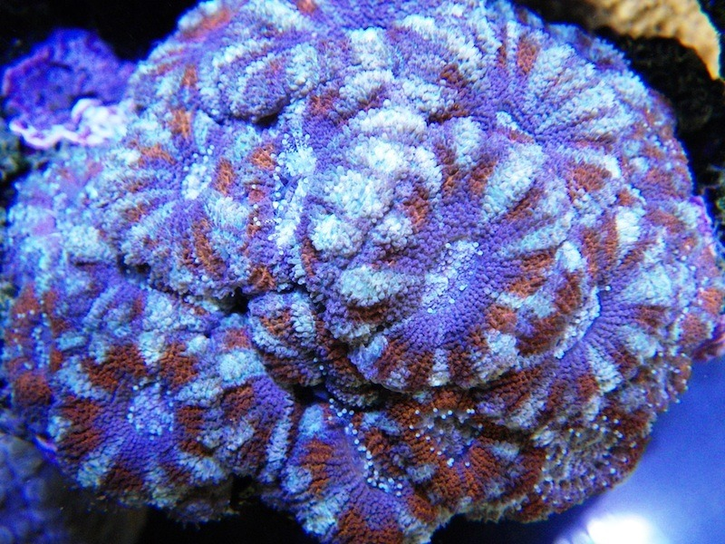 CORAL COLOR AND WHAT IS REQUIRED TO MAINTAIN IT