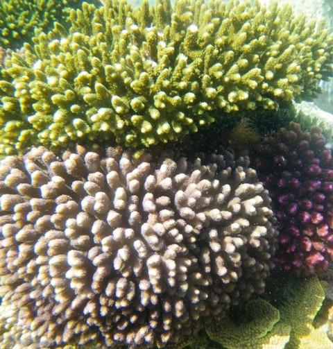 Korallen schnelleres Wachstum