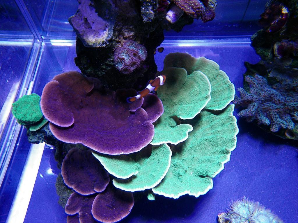 corais sob PR72 iluminação por leds