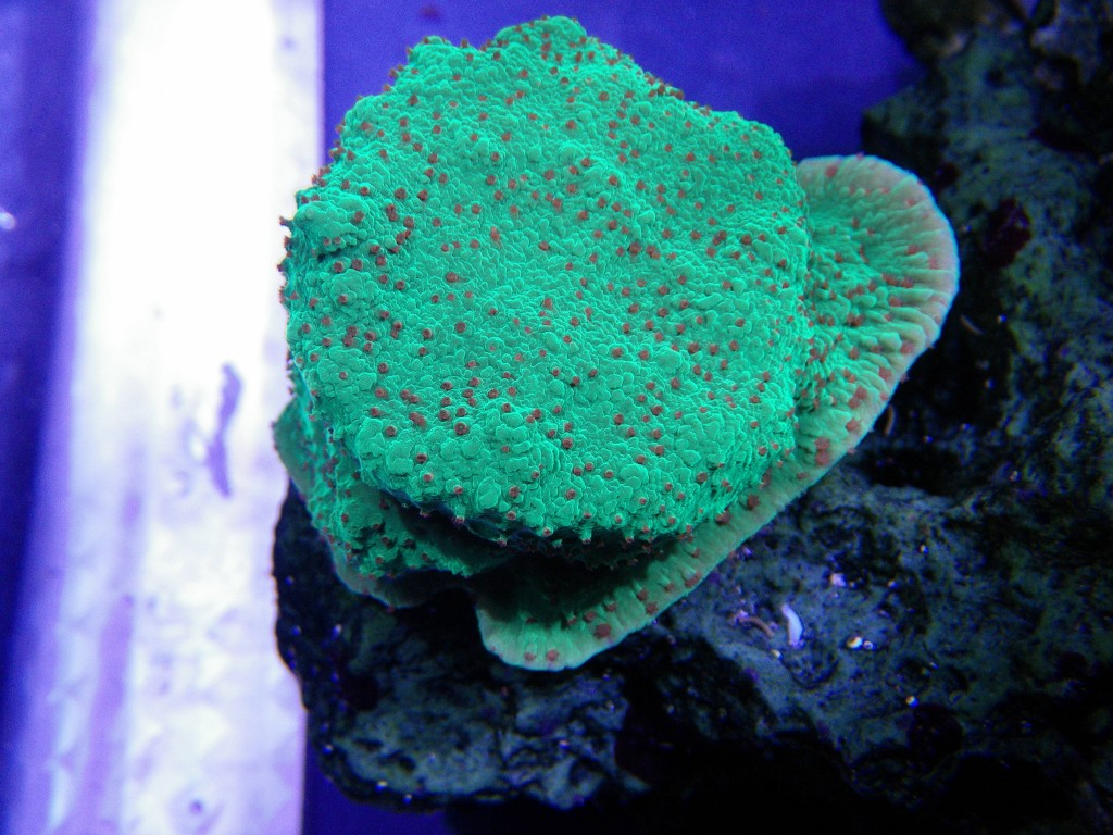 corals under PR72 leds