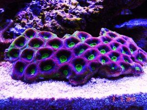 pourpre corail favia