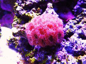 san hô màu hồng