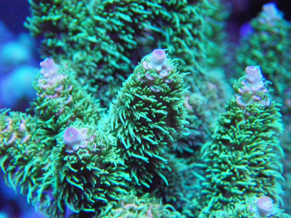 Bird's Nest Coral shows exaggerated polyp expansion