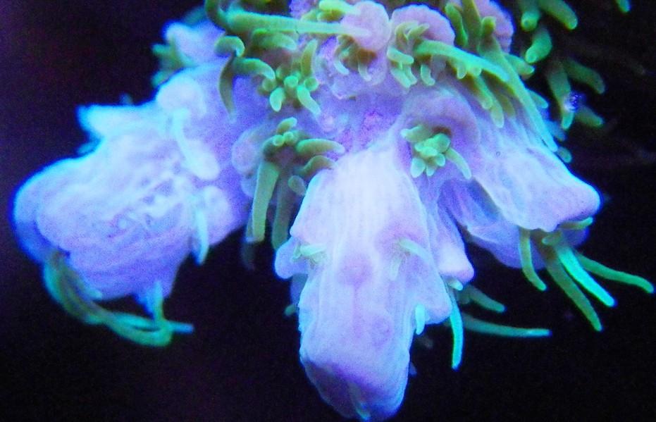 Specie Acropora menunjukkan pertumbuhan tulang sangat baik