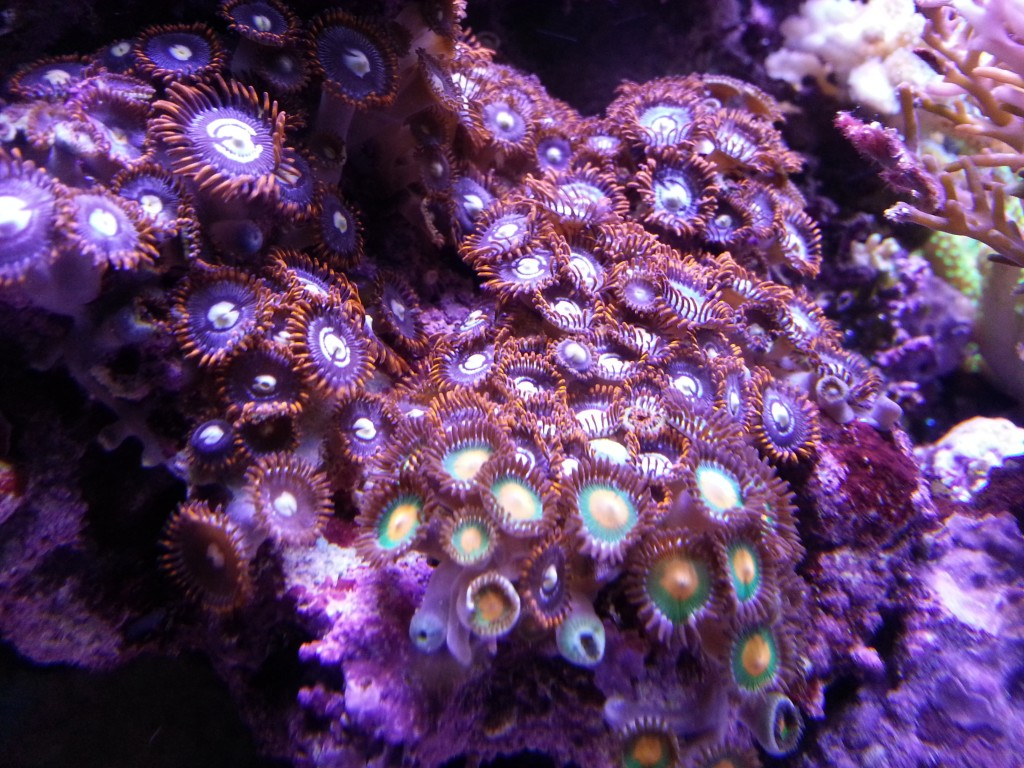 corals orphek led light