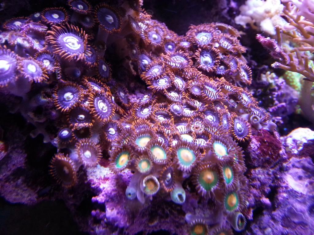 corais orphek levou luz
