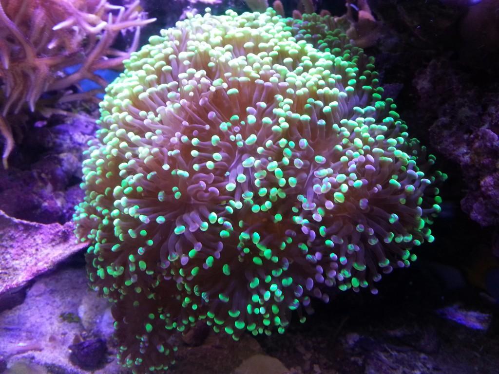hamer koraal onder orphek geleid