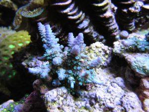 Coral 1 después 5_7_2013 Bajo Orphek Atlantik