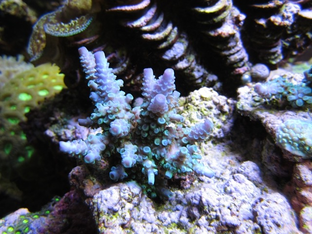 Coral 1 after 5_7_2013 Under Orphek Atlantik