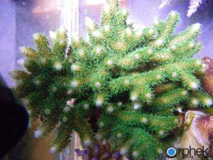 Acropora Millepora зеленый