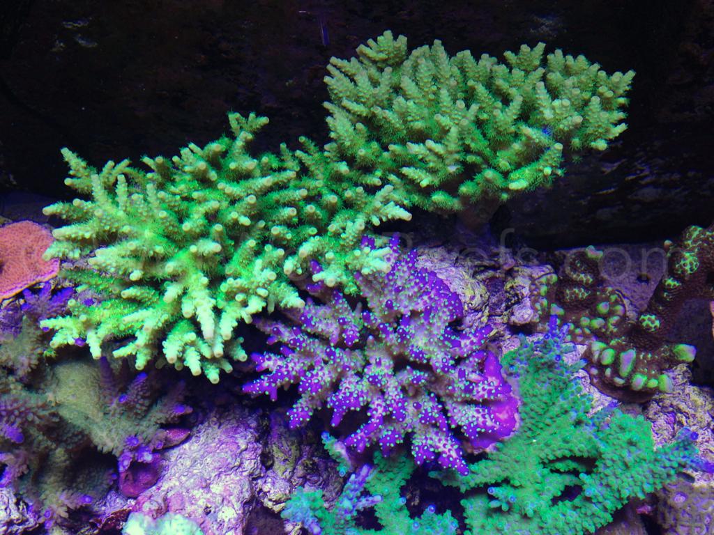Reef 57 by Wet Work ? Orphek