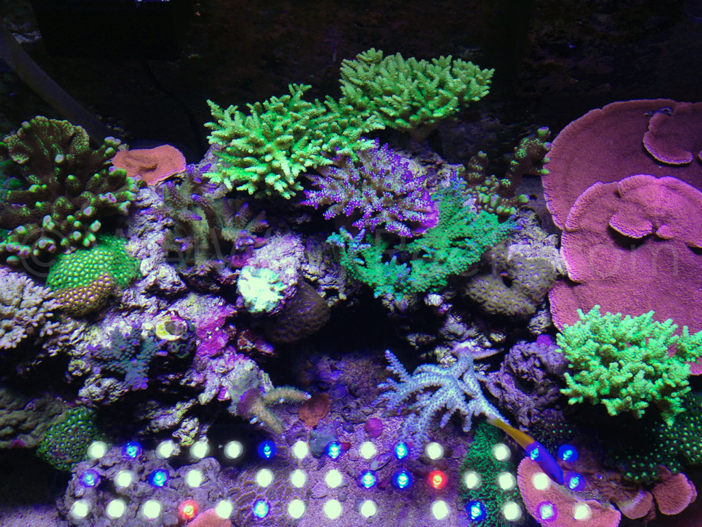 Reef 57 orphek ışık led