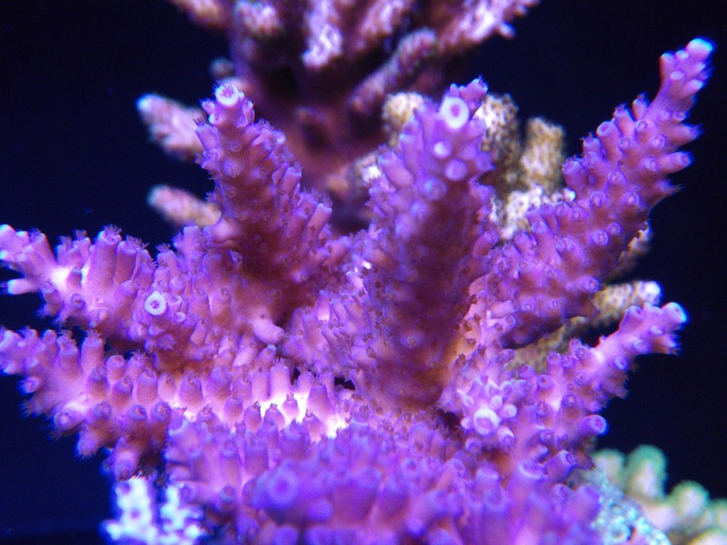 corals LED aquarium lighting