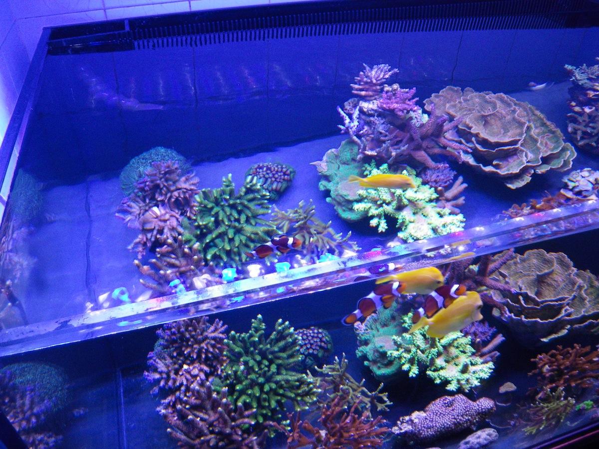 tapes suivre pour un aquarium r cifal r ussi clairage led pour aquarium orphek. Black Bedroom Furniture Sets. Home Design Ideas