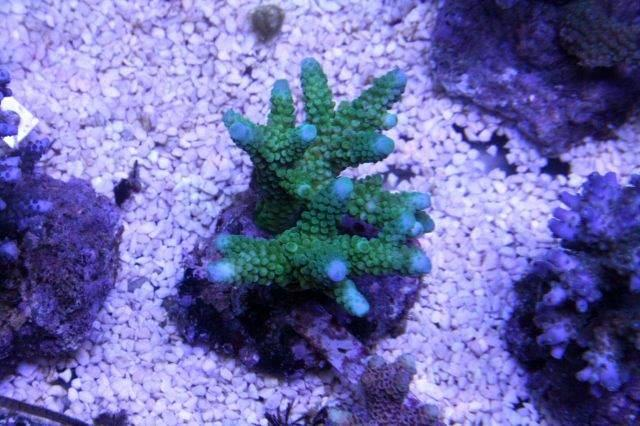 Aqua_Compleet_Green_coral