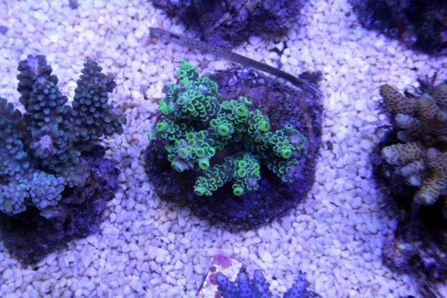 Green_Corals