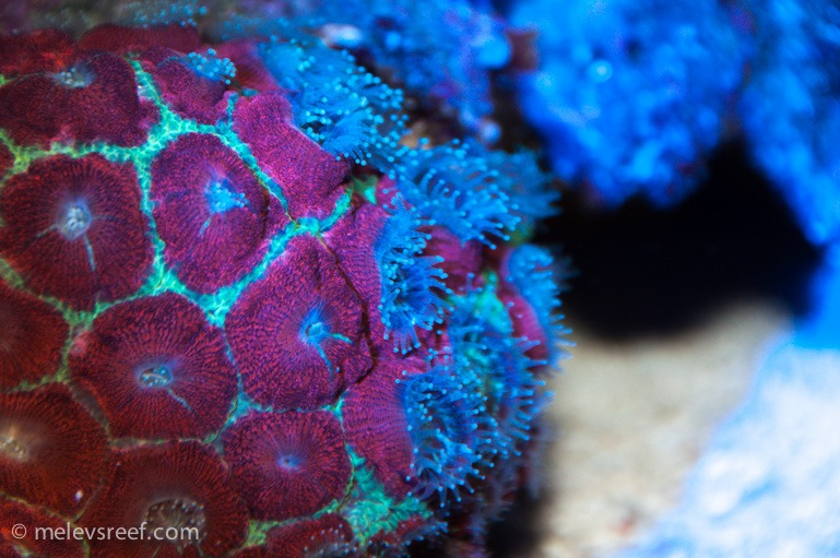 orphek_Azurelight_corals
