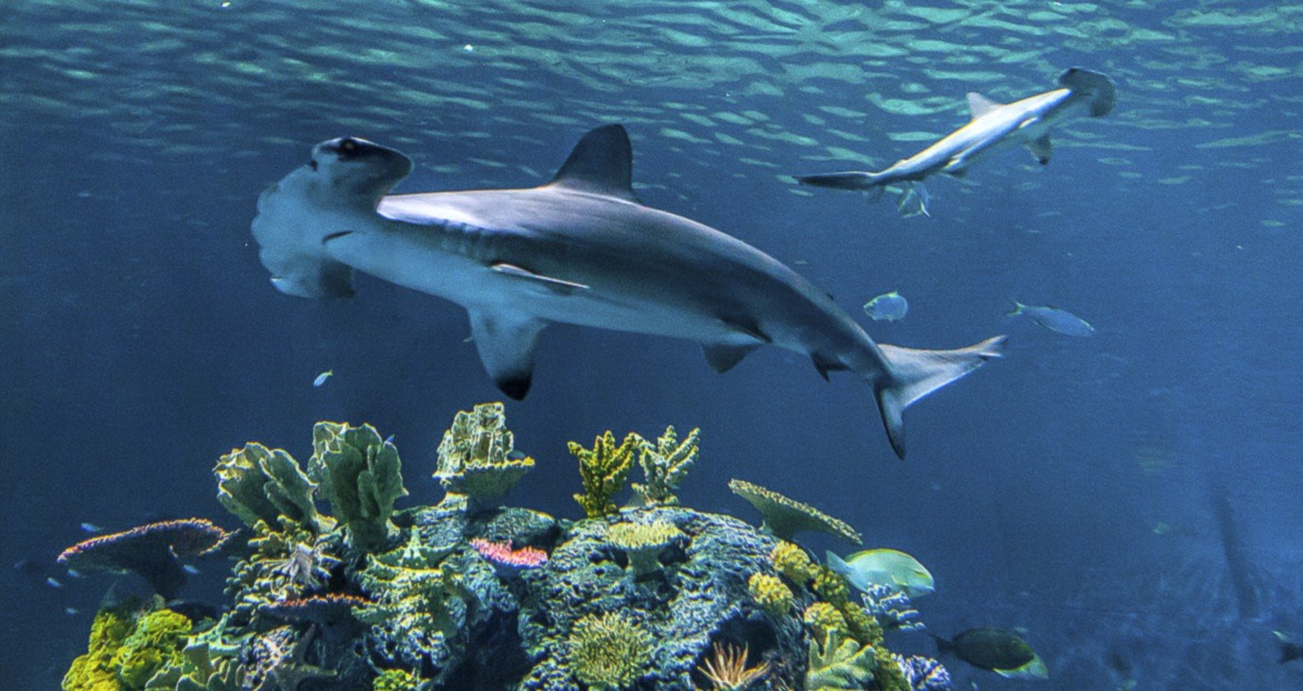 Hammerhead shark Blue Planet