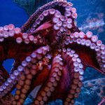 Octopus - Blue Planet Aquarium publiczny