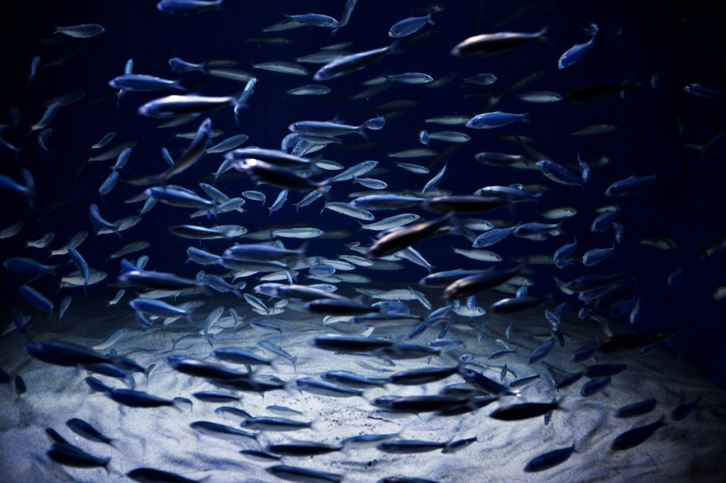 Sekolah-of-Herring-The-Blue-Planet-Public-Aquarium