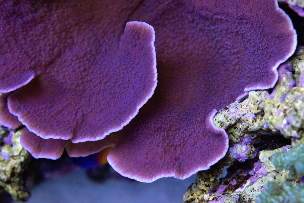 Монтипорами Capricornis-фиолетовый